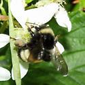Bombus terricola? - Bombus terricola - female