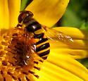 Transverse flower fly - Eristalis transversa