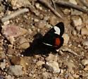 black moth with large orange and white spots - Psychomorpha epimenis