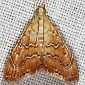 White-roped Glaphyria Moth - Glaphyria sesquistrialis