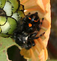 black and orange Jumping Spider - Phidippus audax