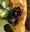 black and orange Jumping Spider - Phidippus audax