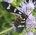NABA wasp-moth - Syntomeida melanthus