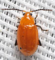 Small gold beetle - Parchicola tibialis