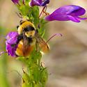 orange bee - Bombus huntii