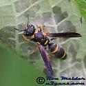Mason Wasp - Parancistrocerus salcularis