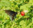 black swallowtail - Battus philenor