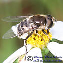 Syrphid Fly - Eristalis dimidiata