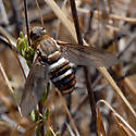 ID for a very large Bee Fly? - Exoprosopa clarki