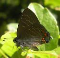 Satyrium liparops