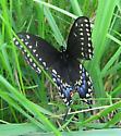 Polyxenes - Papilio polyxenes