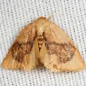 Slug Caterpillar Moth - Tortricidia flexuosa