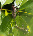 Mating Bugs - Promachus - male - female