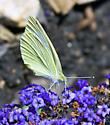 Green Butterfly - Pieris rapae