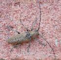Perhaps a flat-faced beetle? - Ataxia
