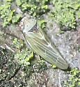 Leafhopper - Agalliopsis ancistra