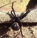 Spider ID - Latrodectus hesperus