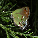 Juniper Hairstreak - Callophrys gryneus - female