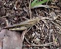 Oedipodinae sp - Chortophaga viridifasciata