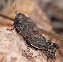 Speckle-winged Rangeland Grasshopper - Arphia conspersa - female
