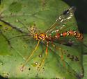 Megarhyssa macrurus or Megarhyssa greenei? - Megarhyssa greenei - female