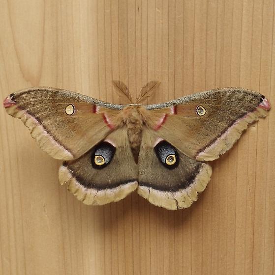 Saturniidae: Antheraea polyphemus - Antheraea polyphemus
