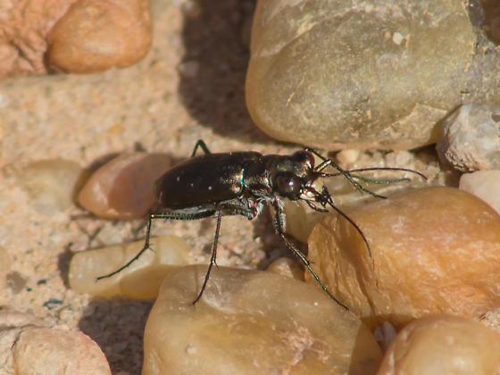 spotted tiger beetle - Cicindelidia rufiventris