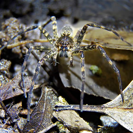Which Dolomedes?