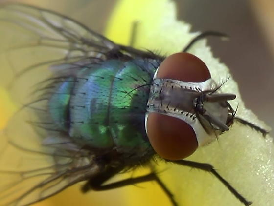 Green Blow Fly Close Ups (face) - Lucilia mexicana - female