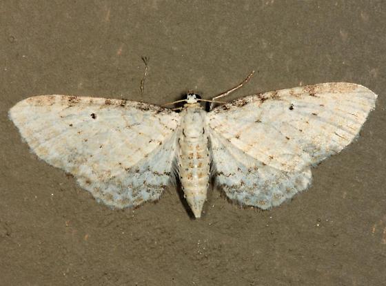 Eupithecia? - Eupithecia cretaceata