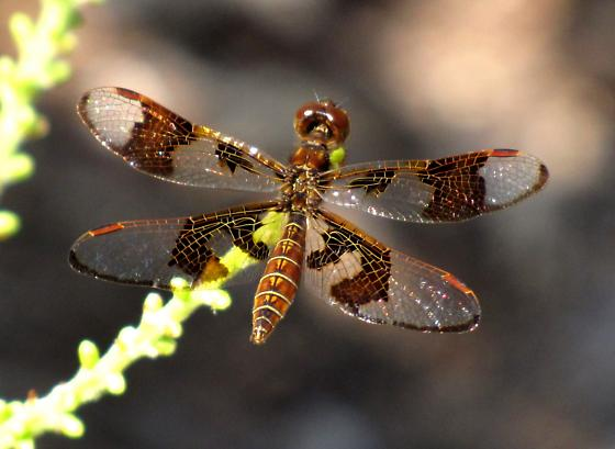 Eastern Amberwing, Perithemis tenera, female - Perithemis tenera