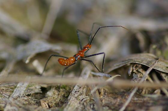 Unknown - Zelus longipes