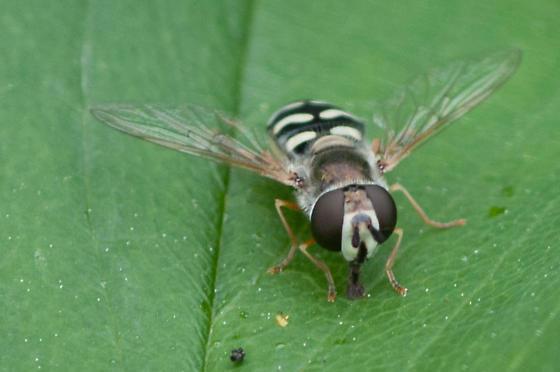 Bird Hover Fly - Eupeodes volucris