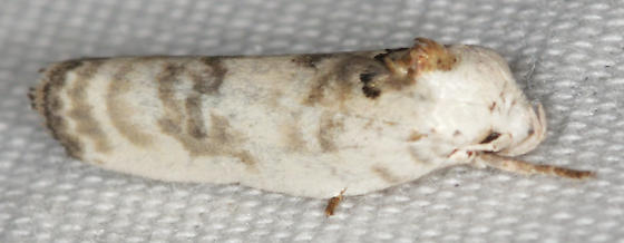 white moth with gold bands - Antaeotricha