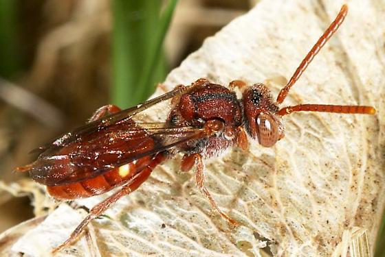 Small Wasp - Nomada - female