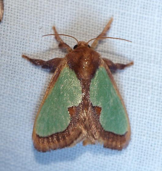 Moth - Euclea incisa