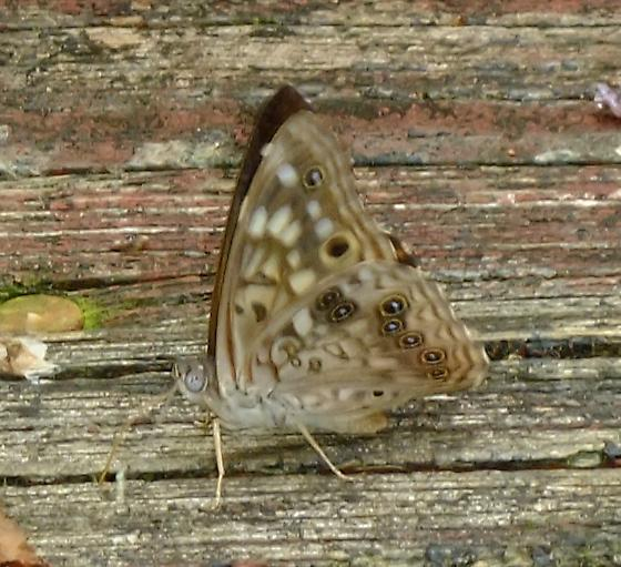 Hackberry Emperor Butterfly? - Asterocampa celtis - male