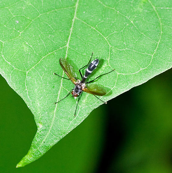 Sawfly..? - Cordyligaster septentrionalis