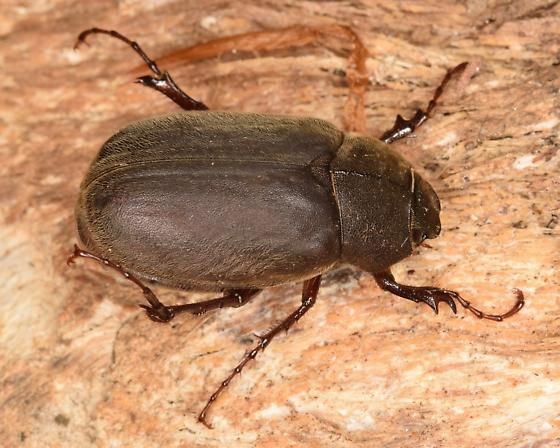 scarab - Phyllophaga