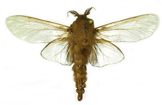 Thyridopteryx sp. - Thyridopteryx - male