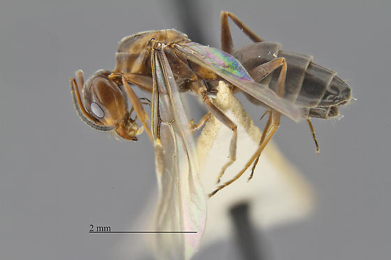 Dolichoderinae - Dorymyrmex smithi - female