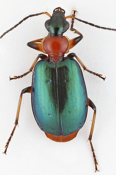 Carabid - Lebia viridipennis