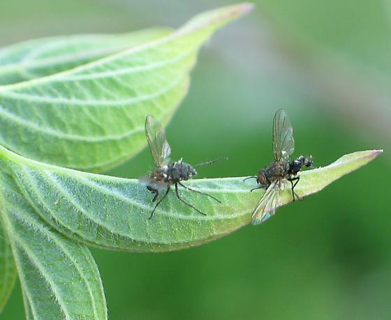 Diseased Flies