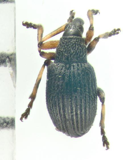 Apioninae, dorsal - Coelocephalapion
