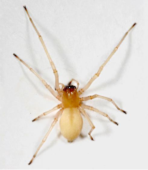 Spider BG454 - Cheiracanthium inclusum - female