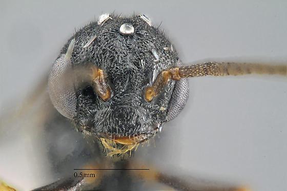 Stigmatomma pallipes - male