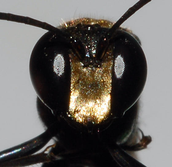 Close-up of male - Eremnophila aureonotata - male