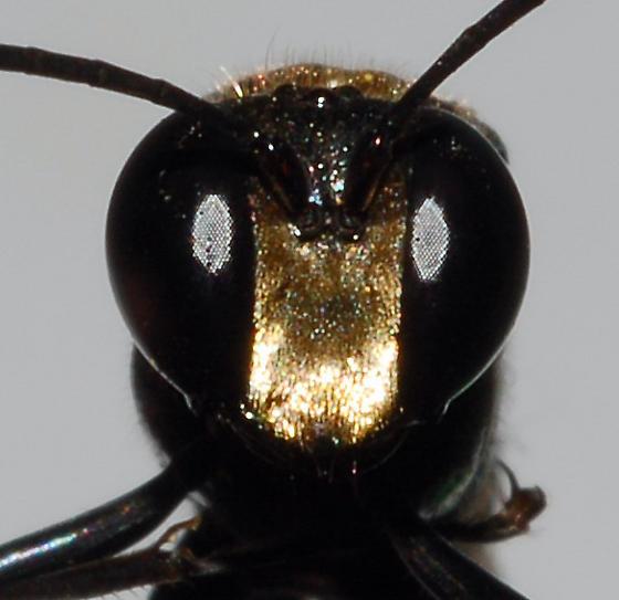 Close-up of male - Eremnophila aureonotata - male