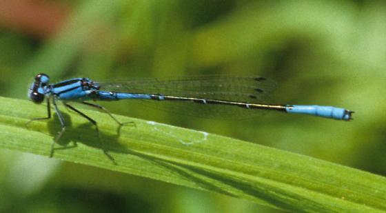 Azure Bluet - Enallagma aspersum - male