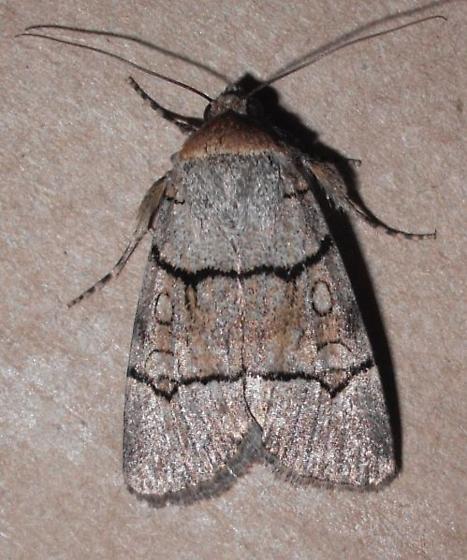 moth - Sympistis youngi